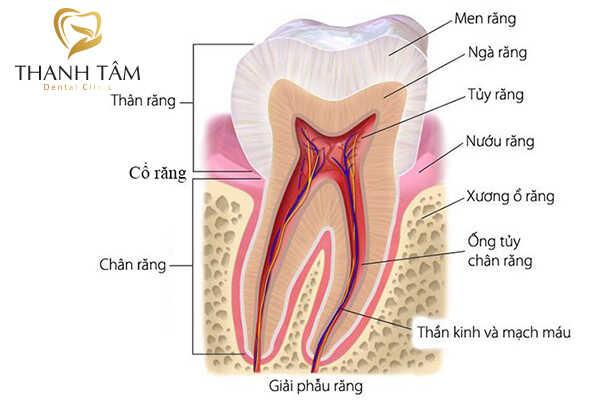 Cấu tạo của răng người gồm 3 phần chính