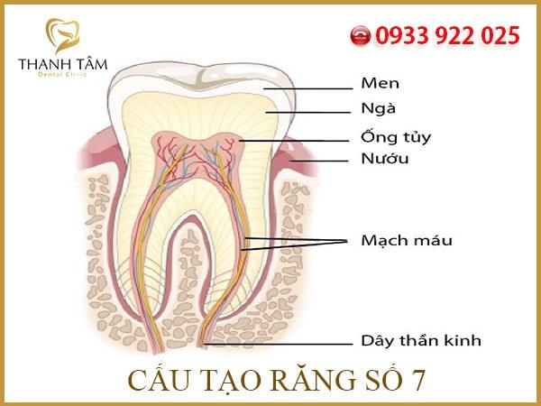 Răng số 7