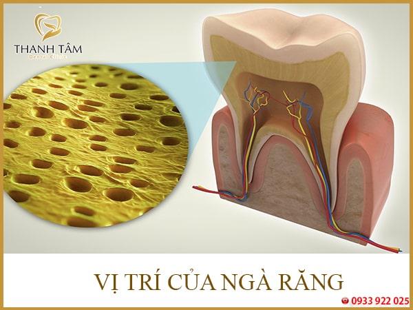 cấu tạo răng số 8