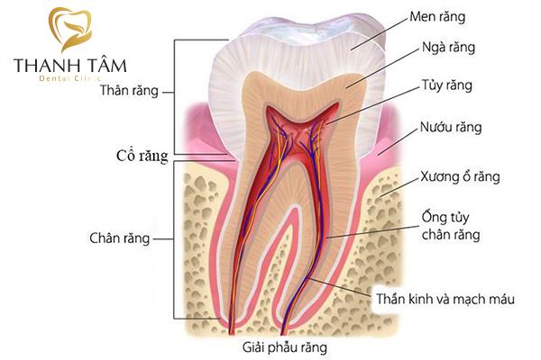 Cấu tạo của răng người gồm 3 phần