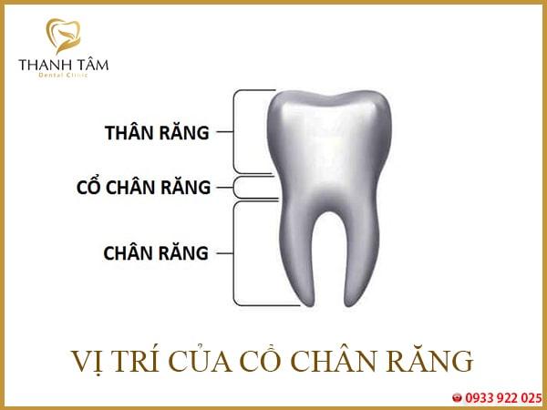 vị trí cổ răng